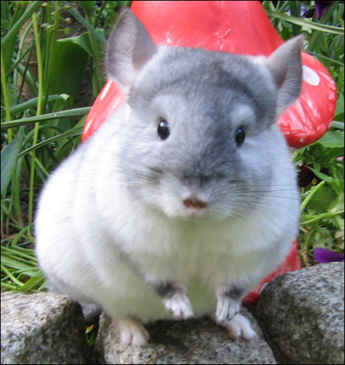 Chinchilla Forum of Sweet Dreams