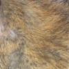rat au poil agouti, brun