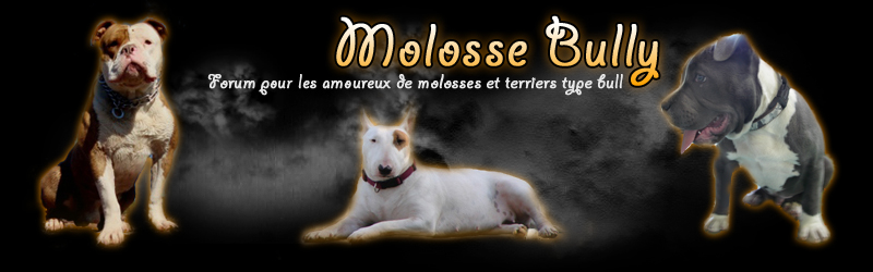"Blog Molosse Bully ""Molosses et Terriers de Type Bull"""