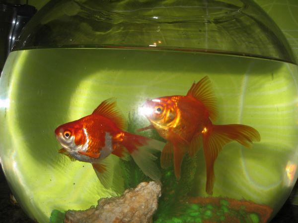 Identification d 39 un poisson et questions for Poisson rouge japonais