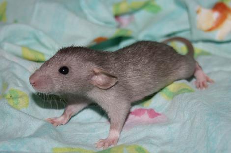 rat20f12.jpg