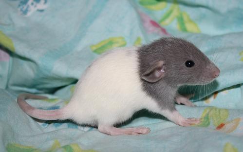 rat20m11.jpg
