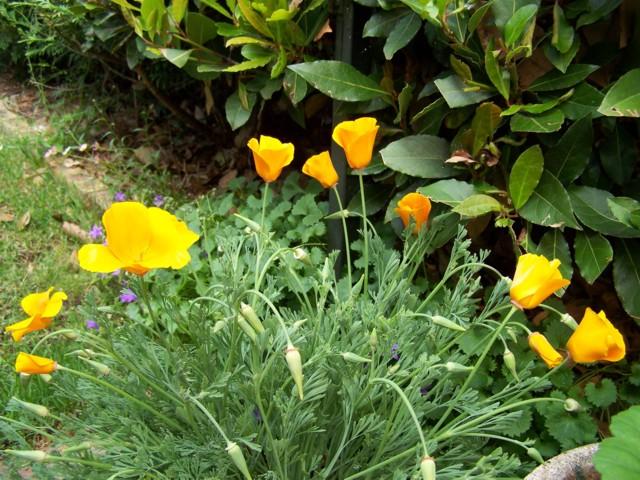 identifi e mais quelle est cette fleur au jardin forum de jardinage. Black Bedroom Furniture Sets. Home Design Ideas