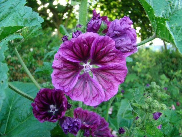 Vos roses tr mi res au jardin forum de jardinage - Planter des roses tremieres ...