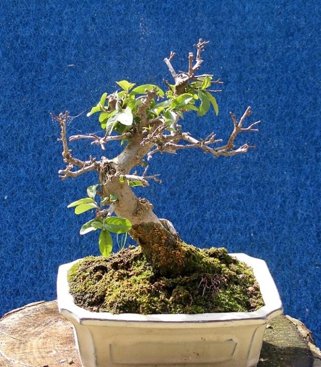 forum jardin au naturel mes bonsa en sortie d 39 hiver. Black Bedroom Furniture Sets. Home Design Ideas