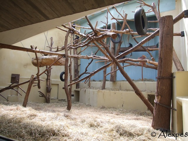 zooparc de tr gomeur nouveaut 2011 les langurs de java. Black Bedroom Furniture Sets. Home Design Ideas
