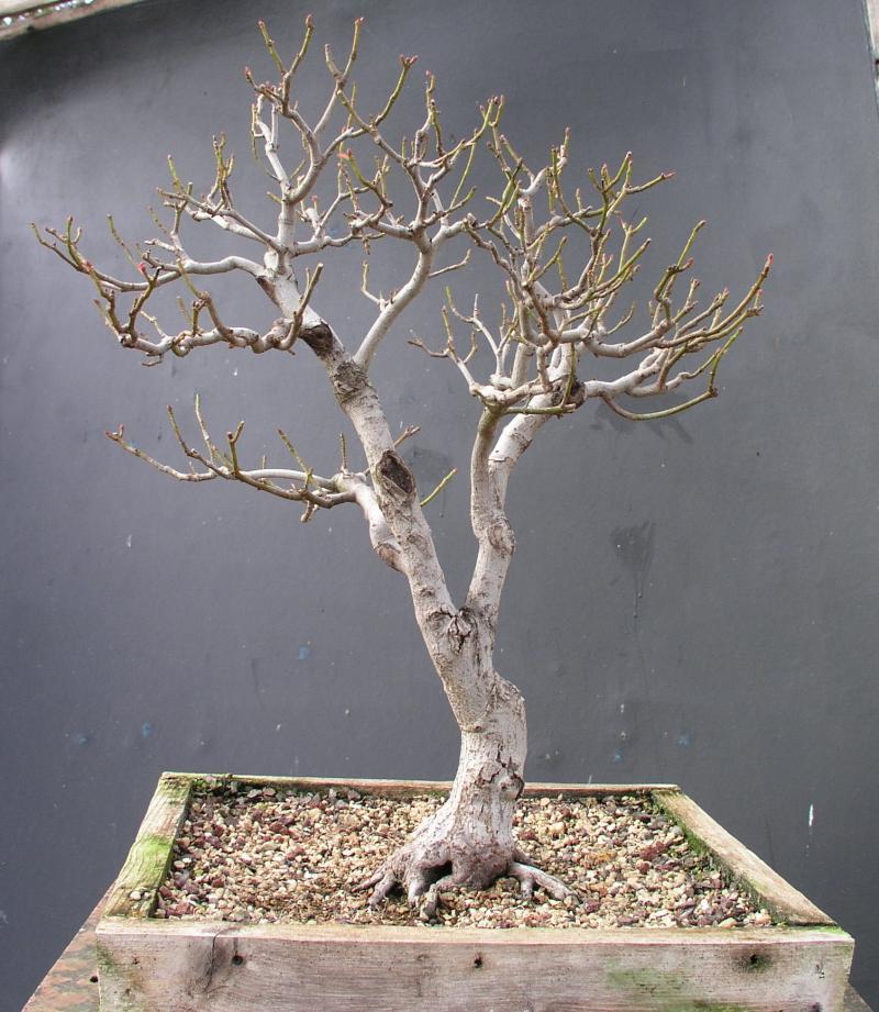 Red maple acer rubrum - Arce rubrum bonsai ...
