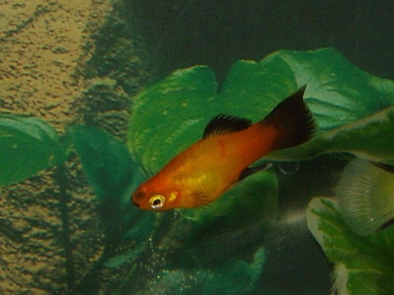 Species profile platy fish xiphophorus maculatus for Scientific name of fish
