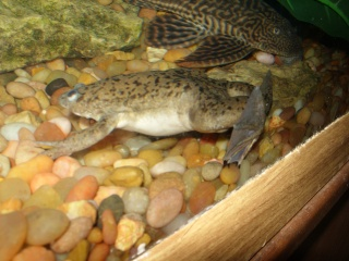 Species Profile African Clawed Frog Xenopus Laevis