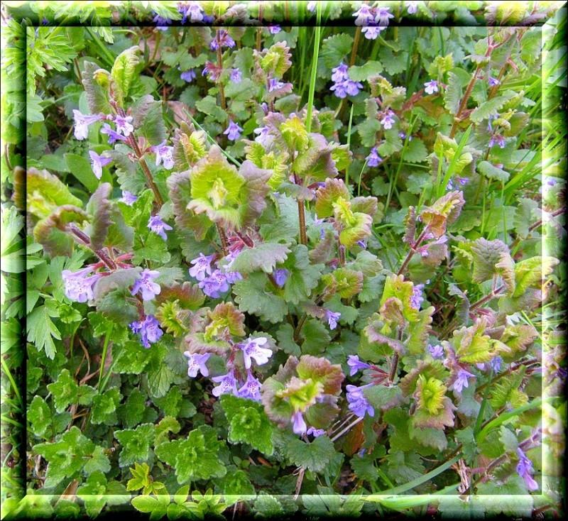 Glechoma hederacea for Plante rampante