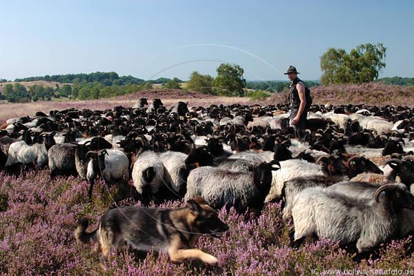 crescatorul de oi