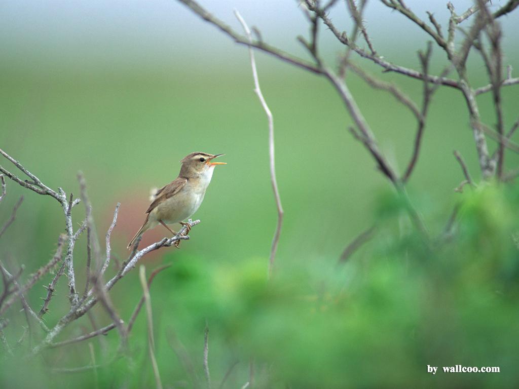 пение птиц для телефона скачать бесплатно и без регистрации
