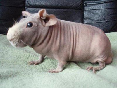 Drole de cochon sans poils - Image de cochon mignon ...