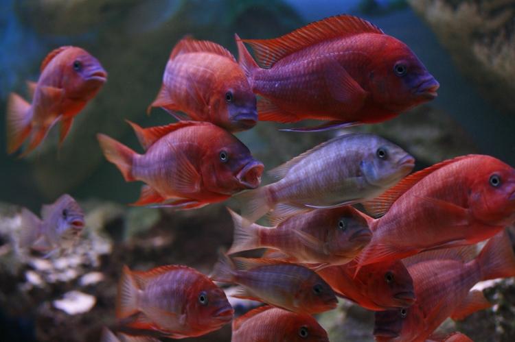 """Petrochromis red """"Bulu Point"""""""