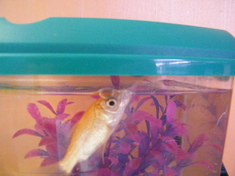 Le respect du poisson rouge for Poisson rouge plastique