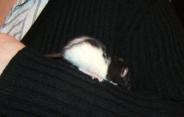 Filoute, ratte de 5 semaines