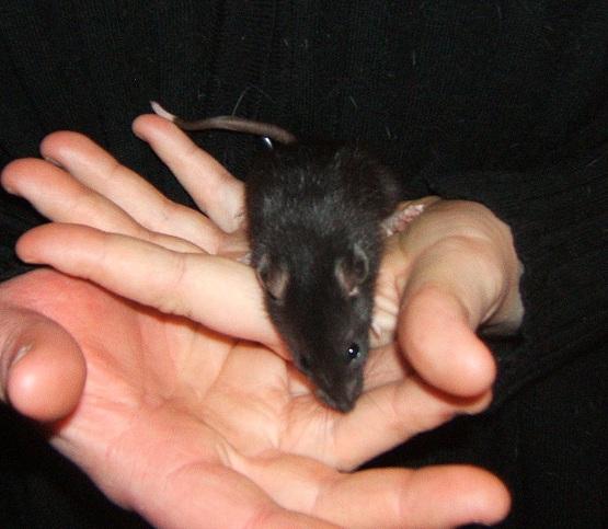 rat noir irish de 5 semaines