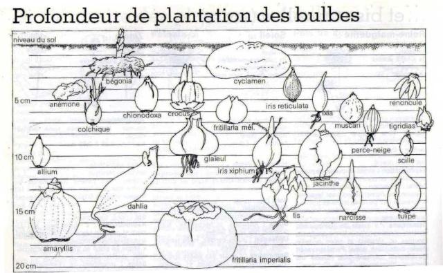 Plantation culture et floraison des bulbes des rhizomes des griffes - Bulbes a floraison automnale ...
