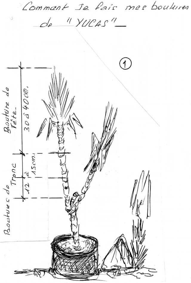 Bouturer le yucca