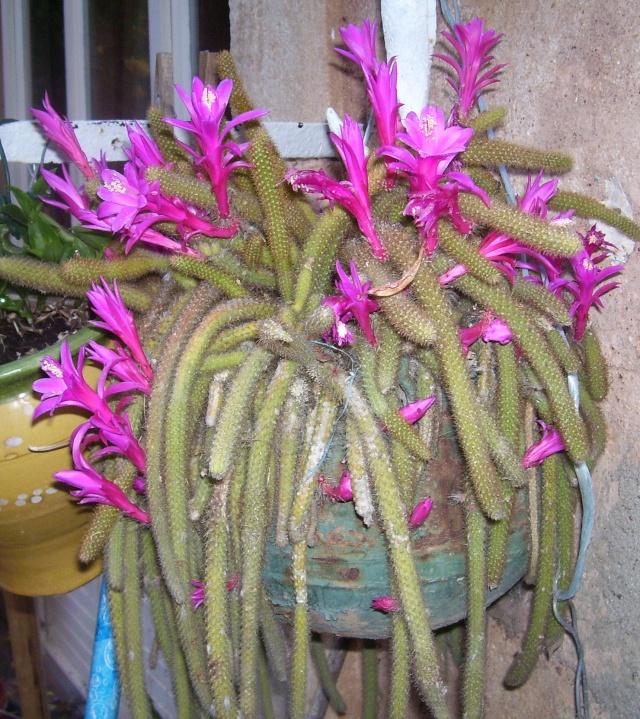 Cactus queue de rat ou aporocactus - Plante resistant au gel ...