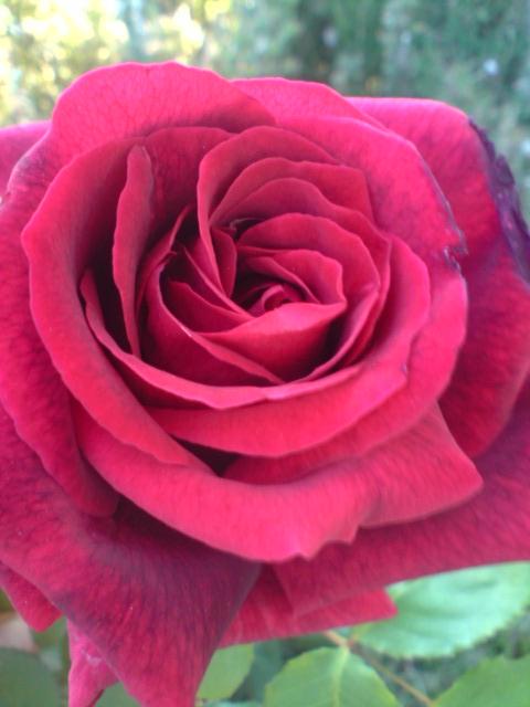 rosier yves piaget