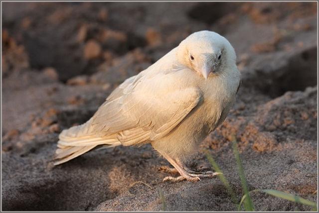 Extrêmement The Crow, Le corbeau et la mythologie BJ91