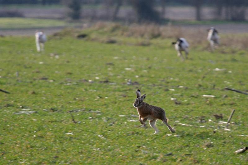 Chasseurs de lièvre aux chiens courants, un forum pour parler de votre passion!!!!!