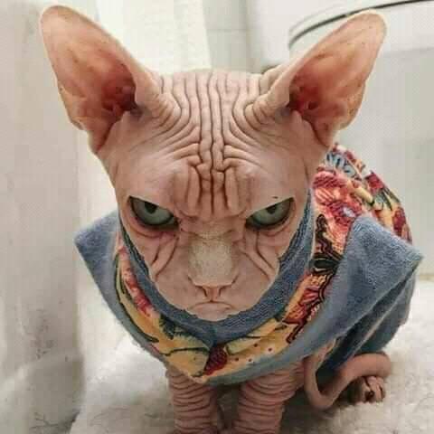 القط الفرعوني.